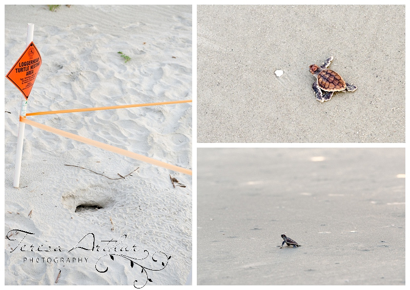 Baby Loggerhead Sea Turtle Hilton Head Island, SC