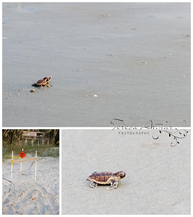 Baby Sea Turtle Hilton Head Island